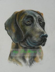 10_Labrador Apollo